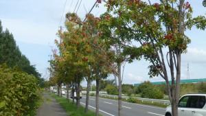 道道東雁来江別線とナナカマド並木