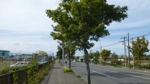 道道東雁来江別線とイタヤカエデ並木