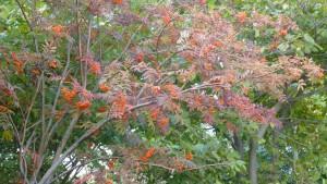 ナナカマドの赤い果実