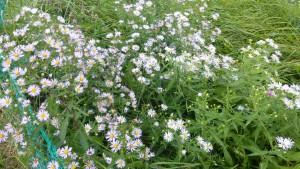 ユウゼンギクの花
