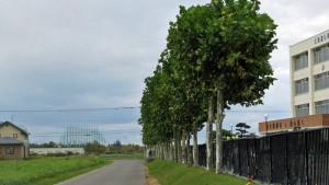 札幌東豊高校前のプラタナス並木