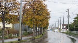 市道福移沼端線とイチョウ並木の黄葉