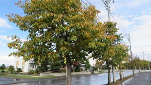 市道中野幹線とオオバボダイジュ並木の黄葉