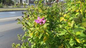 ムクゲの花と黄葉