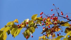 アズキナシの黄葉と赤い果実