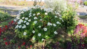 ハマギクの花