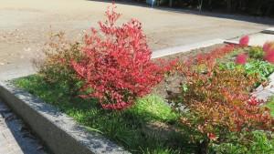 ドウダンツツジの紅葉