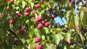 ヤマボウシの赤い果実