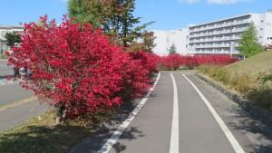 下野幌団地遊歩道とニシキギの紅葉