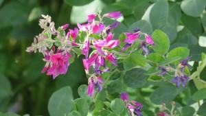 ミヤギノハギの花