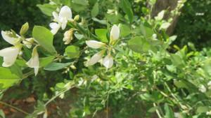 白花のミヤギノハギ