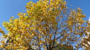 キタコブシの黄葉