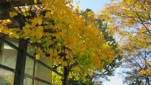 ツルウメモドキの黄葉