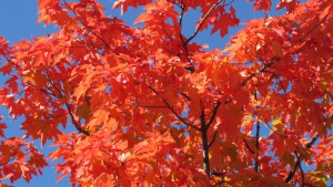 サトウカエデの紅葉