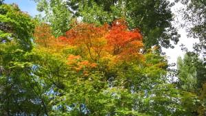 [赤れんが庁舎]前庭のヤマモミジの紅葉
