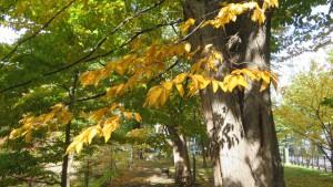 アサダの黄葉