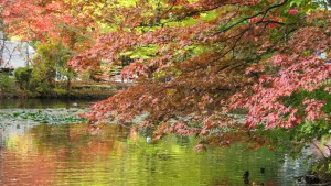 北の池とヤマモミジの紅葉