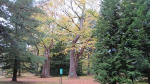 [北大植物園 ]ハルニレの巨木と黄葉