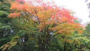 オオモミジの紅葉