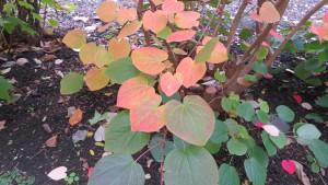 マルバノキの紅葉