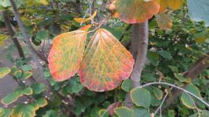 マルバマンサクの紅葉