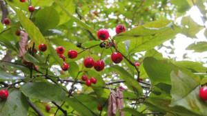 カマツカの葉と赤い果実