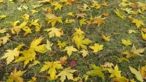 クロビイタヤの落ち葉