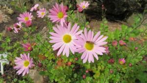 ピレオギクの花