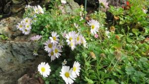 コハマギクの花