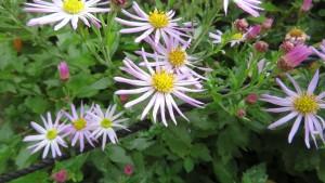 エゾノコンギクの花