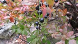 ナツハゼの黒い果実
