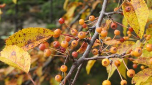 ズミの黄色い果実