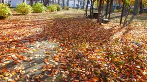 エゾヤマザクラの落ち葉