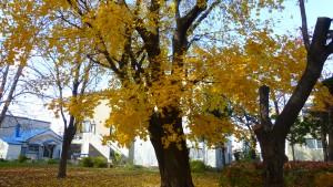 イタヤカエデの黄葉
