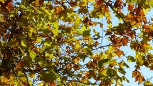 プラタナスの黄葉