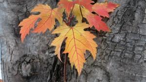 ギンヨウカエデの紅葉