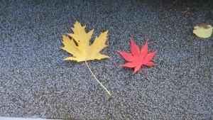 ギンヨウカエデとヤマモミジの落ち葉