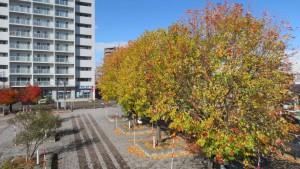 ドーム前広場とギンヨウカエデの黄葉