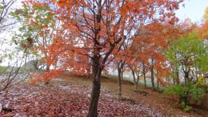 ノルウェーカエデの紅葉
