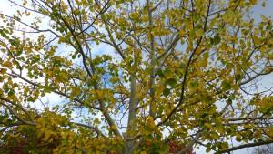 ヤマナラシの木と黄葉