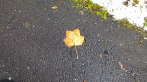 ユリノキの落ち葉