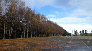 駐車場とシラカバ並木の黄葉