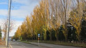 福住桑園通とポプラ並木の黄葉