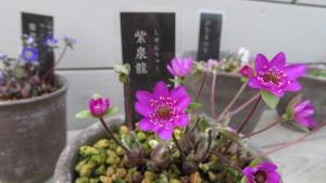 ユキワリソウ'紫泉龍'