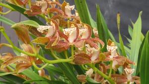 シンビジウム トラシアナムの花