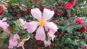 ツバキ'肥後桜'