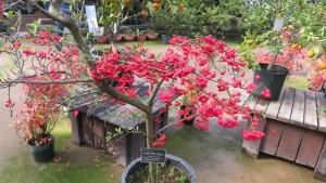 トキワサンザシの赤い果実