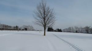 雪原に残るスキ-の跡と一本の木