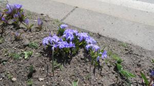 チオノドクサの花