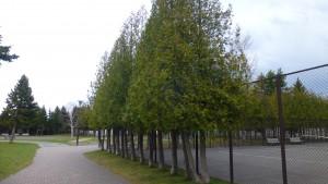 園路とヒバの木立とテニスコート